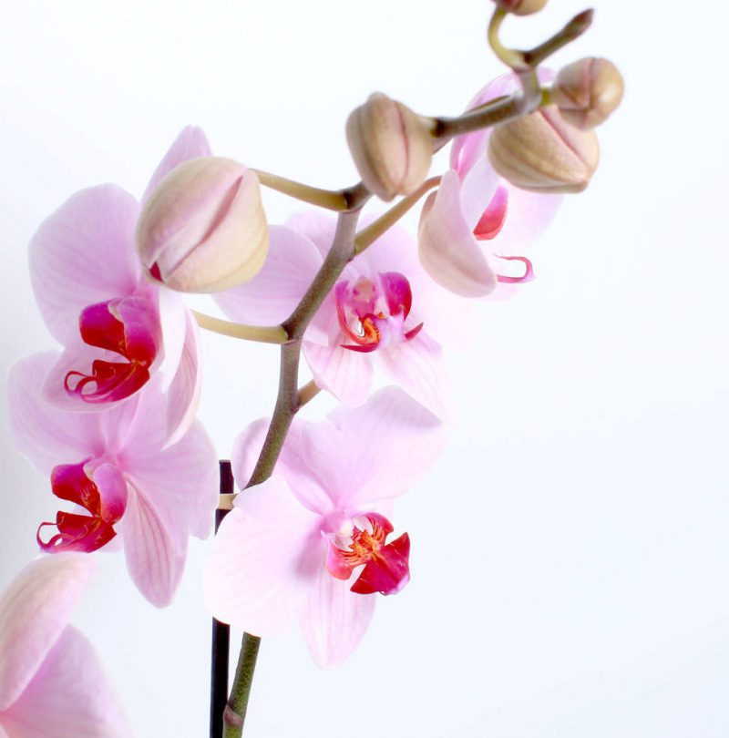 pink_orchid_above_lr